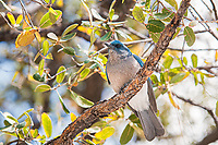 The Mexican jay is a gorgeous member of the crow and jay family that is found throughout Mexico and barely touches into parts of Texas, New Mexico and Arizona. Very similar to the Florida scrub jays in appearance from my birthplace in SW Florida, these noisy birds are intelligent, curious, and much like their relative - the magpie, are thieves for anything bright, shiny or tasty.