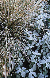 Frost on the foliage of Stipa arundinacea and Salvia officinalis 'Berggarten'.