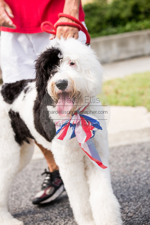 A dog wears red, white and blue as residents of I'on community celebrate Independence Day with a bicycle and golf cart parade July 3, 2013 in Mt Pleasant, SC.
