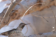 Photograph of an Anna's Hummingbird at Patagonia Lake State Park AZ
