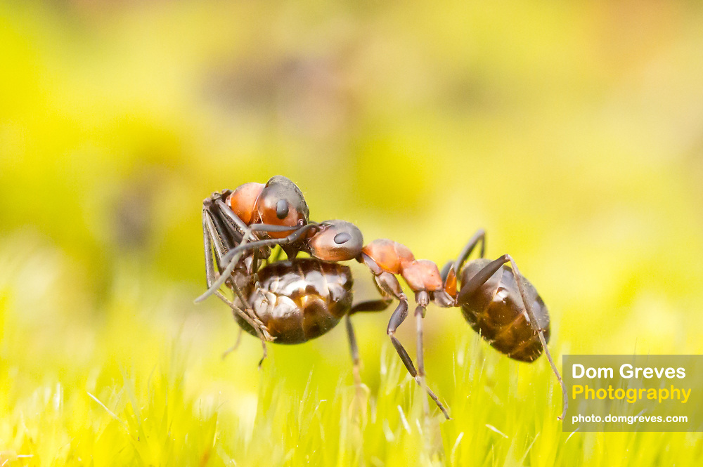 Wood ant (Formica rufa) carrying another wood ant. Dorset, UK. In early spring ant colonies often recruit new members by raiding neighbouring nests.