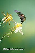 01162-05306 Ruby-throated Hummingbird (Archilochus colubris) male on Yellow Columbine (Aquilegia chrysantha) Shelby Co.  IL