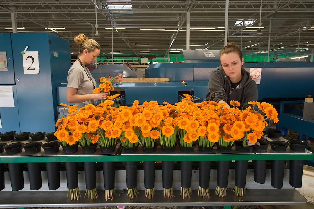 """Tri des gerberas par des ouvriers polonais chez Holsteinflowers, De Lier, http://www.holsteinflowers.nl<br /> 49,000 m2 de serres. ?? collaborateurs. Existe depuis ??.<br /> 80 espèces de gerberas fleuries sont produits ici. Les plantes sont exposées dans des serres construits par http://www.technokas.nl. <br /> Région Westland, Pays-Bas. <br /> Westland est la région  aux Pays-Bas où des fleurs et plantes poussent dans des énormes serres  robotisées et automatisées. On appelle cette région aussi """"la ville de verre"""". Ces serres sont des véritables usines à fleurs et plantes, avec une production constante et quotidienne, dont une grande partie est destinée à l'exportation."""
