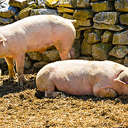 We were at the Frontier Museum in Staunton, VA.  It is a fabulous living history museum.  At one of the farms, we saw these pigs...what;s not to like.