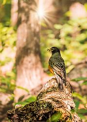 Mr. Robin preparing for some nest building