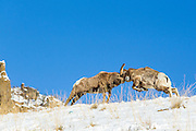 Rocky Mountain Bighorn Sheep (Ovis canadensis)Rams fighting during the rutting season
