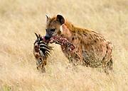 Spotted Hyena, Crocuta crocuta, from Masai Mara, Kenya.  here the hyena has grabbed a piece of a zebra for food.