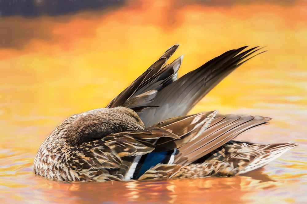 A Female Northern Mallard Duck Preening In Sunset Waters
