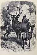 A family of Red Deer (Cervus elaphus) From the book ' Royal Natural History ' Volume 2 Edited by Richard Lydekker, Published in London by Frederick Warne & Co in 1893-1894