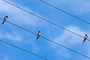 Three swallows perching, bird on the wire, in County Clare, West of Ireland