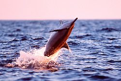 Long-snouted Spinner Dolphin, leaping at sunset, Stenella longirostris, Kona, Big Island, Hawaii, Pacific Ocean