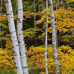 Paper birch trees, Betula papyrifera, in fall in Grafton Notch State Park, Maine.