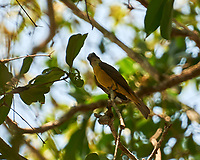 Great Kiskadee (Pitangus sulphuratus). Crooked Tree Wildlife Sanctuary. Image taken with a Nikon D3x camera and 70-300 mm VR lens