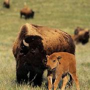 Bison, (Bison bison) Calf with mother. Spring. Montana..  .Bison, (Bison bison) Calf with mother. Spring. Montana.