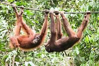 A pair of Orangutans try to sort out a disagreement at Sepilok Orangutan Rehabilitation Centre, Borneo.