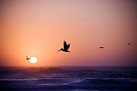 Pelicans fly over waves of pacific ocean at sunset, Humboldt county, California