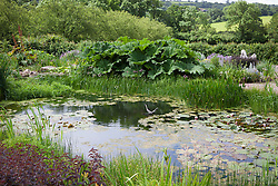 The wildlife pond with water lilies and Gunnera manicata at Holt Farm organic garden