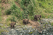 Brown bear spring cubs climb a bluff to hide from an approaching adult bear at the lower lagoon at the McNeil River State Game Sanctuary on the Kenai Peninsula, Alaska. The remote site is accessed only with a special permit and is the world's largest seasonal population of brown bears in their natural environment.