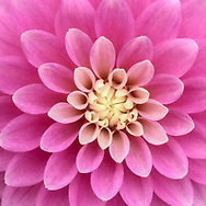 The symmetry of dahlias. So pleasing to the eye.