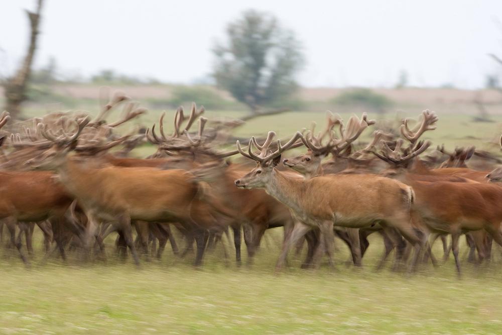 Red deer (Cervus elaphus)  Oostvaardersplassen, Netherlands. Mission: Oostervaardersplassen, Netherland, June 2009.