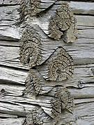 Log Cabin Joints on 1880 Pioneer Cabin,Ruby Lake National Wildlife Refuge, Elko County, Nevada