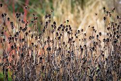 Seedheads of Rudbeckia fulgida var. deamii - Deam's coneflower