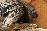 Porcupine, close-up