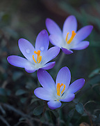 Crocus in the Pit House at Stonecrop Gardens, Cold Spring, New York