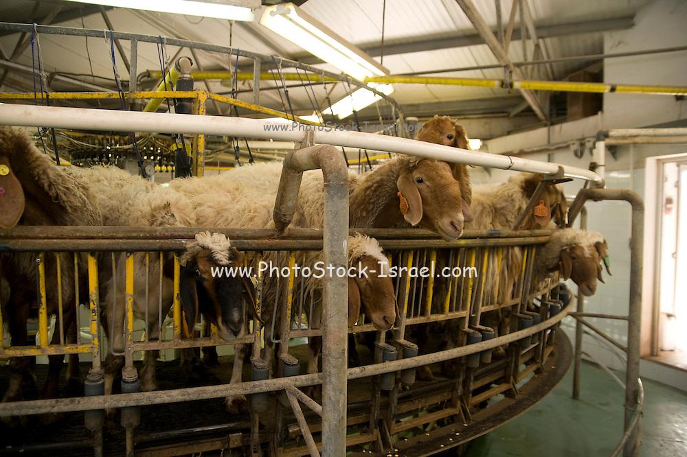 Israel, Sheep dairy farm Milking the sheep