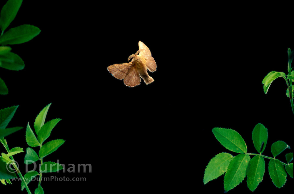 A male forest moth (Malacosoma californicum) flying at night in the Mount Hood National Forest, Oregon.