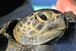 Black Sea Turtle