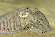 Common Cuttlefish Sepia officinalis Length to 20cm<br /> Extraordinary mollusc with well-developed eyes, internal 'shell' (cuttlebone), and long tentacles. Feeds on other marine invertebrates, notably crabs. Locally common off coasts of S and SW England, and Wales.