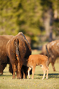 Buffalo ( Bison ) in the Lower Geyser Basin, Yellowstone National Park, Wyoming.