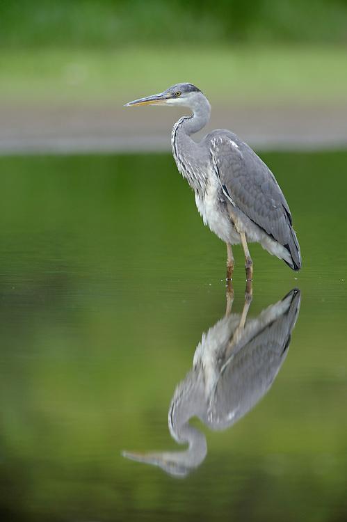 Graureiher; Ardea cinerea; Grey Heron; Mission: Black Storks River Elbe Germany; Biosphärenreservat Niedersächsische Elbtalaue; Biosphere Reserve Middle Elbe. digitally cleaned.