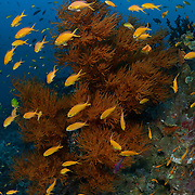 Red-tinted black coral tree (Antipathes sp.) surrounded by a school of orange fairy basslets (Pseudanthias squamipinnis) at the Black and Silver dive site in the Nuakata Island area of Milne Bay, Papua New Guinea.