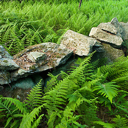 Ferns and a stone wall in a forest in Turner, Maine.