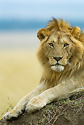 Lion sitting on top of a termite mond, after chasing off another male lion.