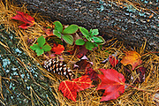 red maple leaves, bunchberries (Bunchberry (Cornus canadensis) and pine cones - forest floor detail at Tyson Lake<br />Killarney District<br />Ontario<br />Canada