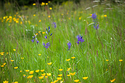 Camassias and buttercups growing in meadow grass