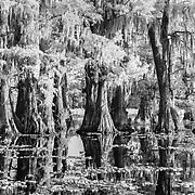 Cypress Shoreline - Caddo Lake, Texas - Infrared Black & White