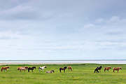 Herd of ponies and horses grazing in meadow in the Wadden Sea National Park on Romo Island, Denmark