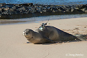 Hawaiian monk seal, Monachus schauinslandi, heads toward the ocean after attachment of a Crittercam and tracking instrumentation package by NOAA researchers as part of Ho Ike a Maka Project; west end of Molokai, Hawaii, photo taken under NOAA permit 10137-6