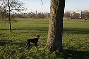 A pet dog watches squirrels staying out of reach in a tree overlooking Brockwell Park in Herne Hill SE24, on 24th March 2020, in London, England.