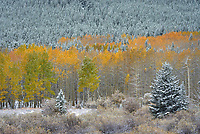 At the end of September an early season snowstorm swept through northern Wyoming, dropping up to 6 inches in the mountains and valleys. I spent a few hours in the Bighorn Mountains trying to capture the clash of seasons. The snowstorm coincided with the peak of fall colors, although some trees were already bare. Aspen trees are not as widespread in the Bighorns as they are in other parts of the Rockies, growing only in a few areas. Circle Park is one spot I knew I could find them. The trees in an aspen stand are actually clones of one another, all connected by an extensive underground root system. While an individual tree may only live 100 years, aspen groves as a whole are some of the oldest and largest living organisms on Earth. Aspens can survive wildfires much better than conifers, but they require more sunlight to grow.