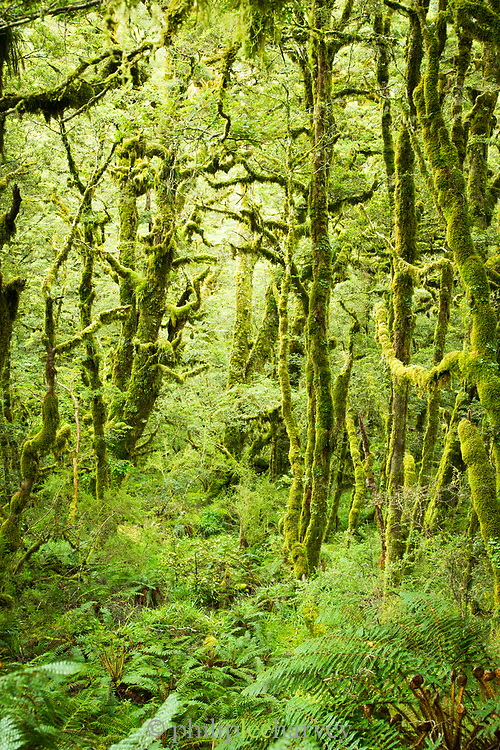 Landscape with view of a beautiful lush green moss-covered forest, Routeburn Track, South Island, New Zealand