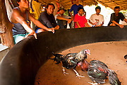 10 APRIL 2010 - PLA PAK, NAKHON PHANOM, THAILAND: Men watch a cockfight in a private pit in rural Thailand. Cockfighting is enormously popular in rural Thailand. A big fight can bring the ring operator as much as 200,000 Thai Baht (about $6,000 US), a large sum of money in rural Thailand. Fighting cocks live for about 10 years and only fight for 2nd and 3rd years of their lives. Most have only four fights per year. Fighting cocks in Thailand do not wear the spurs or razor blades that they do in some countries and most times the winner is based on which rooster stops fighting or tires first rather than which is the most severely injured. Although gambling is illegal in Thailand, many times fight promoters are able to get an exemption to the gambling laws and a lot of money is wagered on the fights. Many small rural communities have at least one cockfighting arena.   PHOTO BY JACK KURTZ