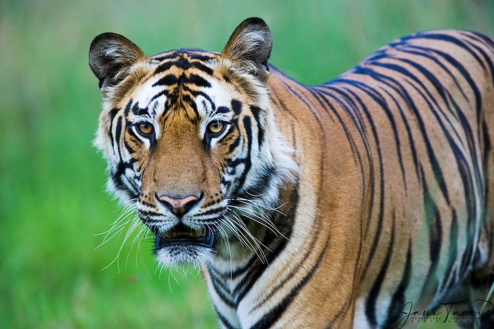 A close-up portrait of the famous dominant male Bengal tiger (Panthera tigris tigris) named B2, Bandhavgarh,Madhya Pradesh,India