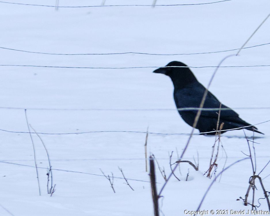 American Crow (Corvus brachyrhynchos). Image taken with a Fuji X-T3 camera and 200 mm OIS lens with a 1.4x teleconverter.