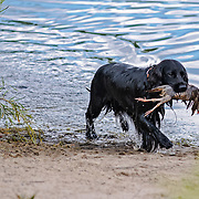 2018 Cocker Spaniel Hunting Enthusiasts of SE WI Hunt Test | 7/29/2018