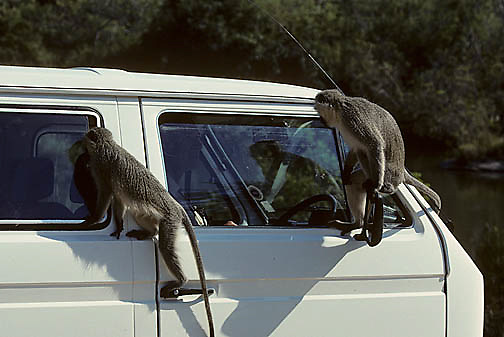 Vervet Monkey, (Cercopithecus aethiops) Curious pair on vehicle, looking for handouts. Kruger National Park. South Africa.